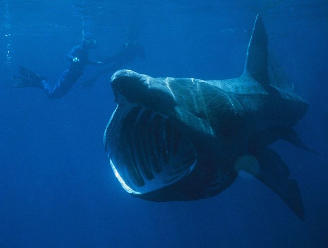 How to see the Basking Shark?