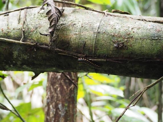 Centipede, Belize